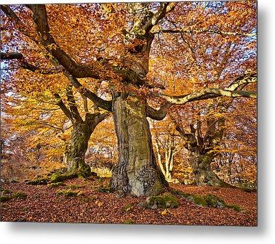 Three Ancient Beech Trees - Germany Metal Print by Martin Liebermann