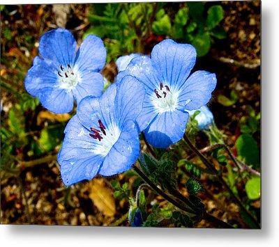 Three Baby Blue Eyes In Park Sierra-ca Metal Print by Ruth Hager