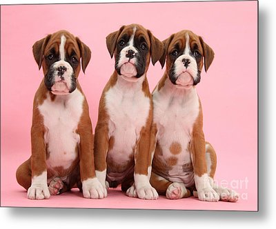 Three Boxer Puppies Metal Print by Mark Taylor
