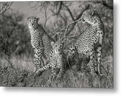 Three Cats Metal Print