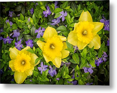 Three Daffodils In Blooming Periwinkle Metal Print by Adam Romanowicz