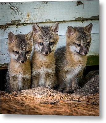 Three Fox Kits Metal Print by Paul Freidlund