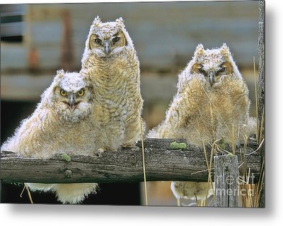 Three Great-horned Owl Chicks Metal Print