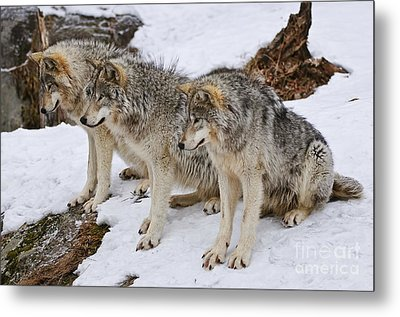 Three Kings Metal Print by Wolves Only