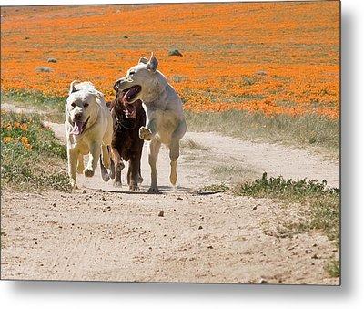 Three Labrador Retrievers Running Metal Print by Zandria Muench Beraldo