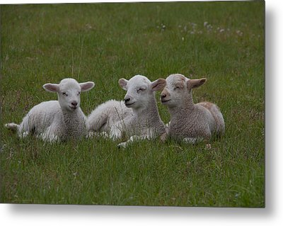 Three Lambs Metal Print by Richard Baker