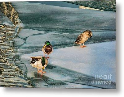 Three Mallards On Partly Frozen Lake Metal Print