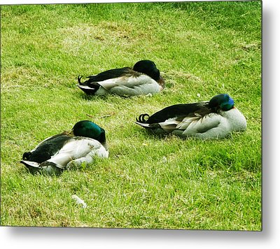 Three Napping Ducks  Metal Print by Zinvolle Art