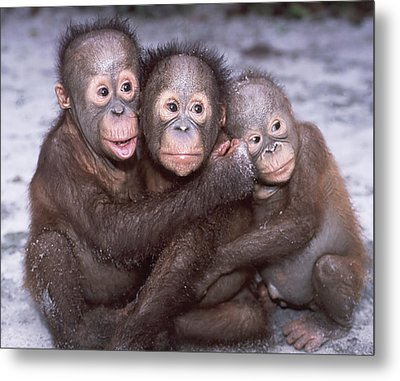 Three Orangutan Babies Metal Print