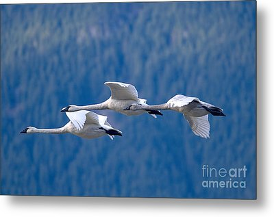 Three Swans Flying Metal Print by Sharon Talson