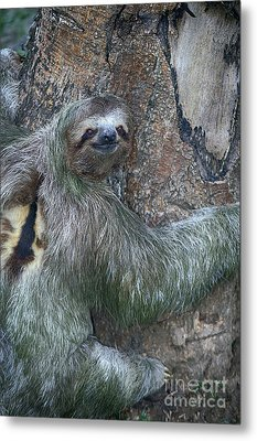 Three Toed Sloth Metal Print by Anne Rodkin