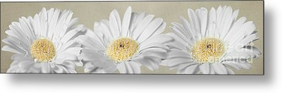 Three White Daisies Metal Print by Eden Baed