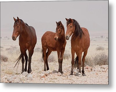 Three Wild Horses (equus Ferus Metal Print by Jaynes Gallery