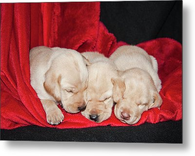 Three Yellow Labrador Retriever Puppies Metal Print