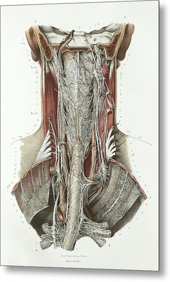Throat Anatomy Metal Print by Science Photo Library