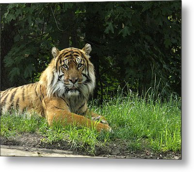 Metal Print featuring the photograph Tiger At Rest by Lingfai Leung