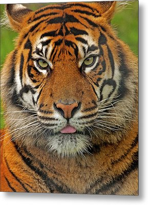 Tiger Eyes Metal Print by Paul Scoullar
