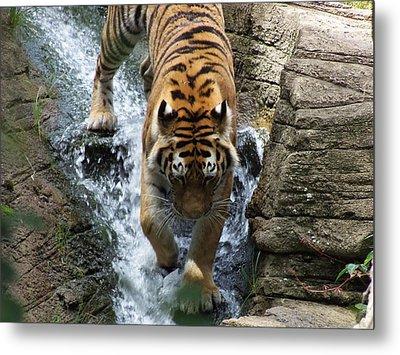 Tiger In The Waterfall Metal Print by Adam L