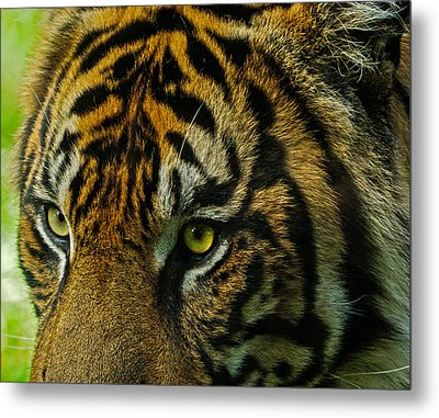 Metal Print featuring the photograph Tiger by John Johnson