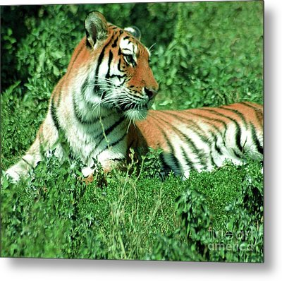 Tiger Metal Print by Kathleen Struckle