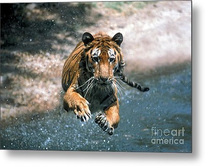 Tiger Leaping Metal Print by Mark Newman