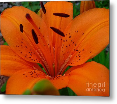 Metal Print featuring the photograph Tiger Lily by Bianca Nadeau
