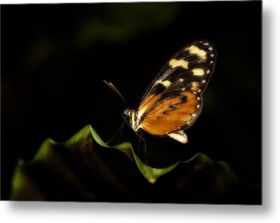 Metal Print featuring the photograph Tiger Monarch Butterfly by Zoe Ferrie