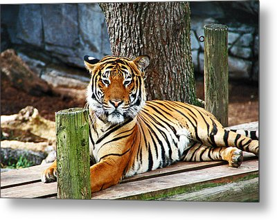 Tiger Portrait Metal Print by Aimee L Maher Photography and Art Visit ALMGallerydotcom