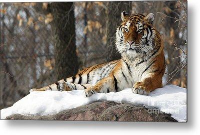 Tiger Relaxing Snow Cover Rock Metal Print