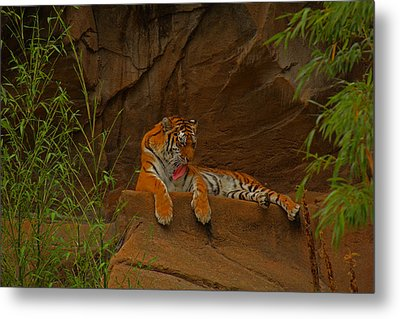 Metal Print featuring the photograph Tiger Resting by Andy Lawless