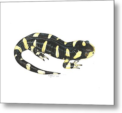 Tiger Salamander Metal Print by Cindy Hitchcock