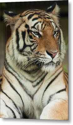Tiger Metal Print by Serene Maisey
