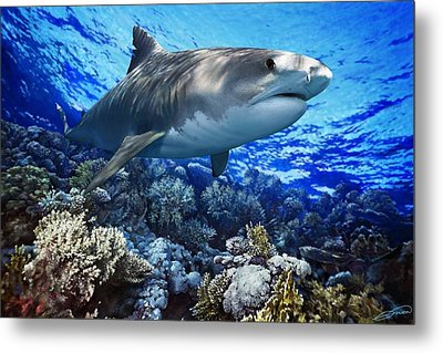 Tiger Shark Galeocerdo Cuvier Metal Print by Owen Bell