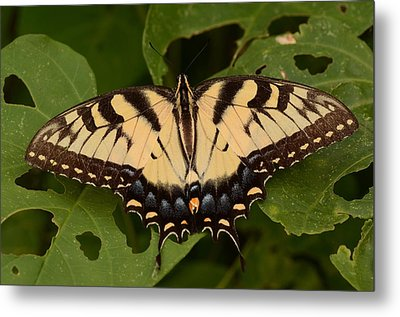 Tiger Swallowtail Butterfly Metal Print by John Cawthron