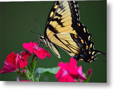 Tiger Swallowtail Butterfly Metal Print by Kathy Eickenberg