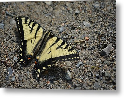 Metal Print featuring the photograph Tiger Swallowtail by James Petersen