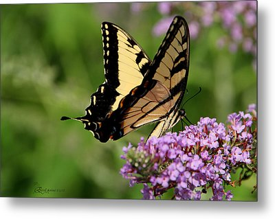 Tiger Swallowtail On Butterfly Bush 2 - Featured In 'comfortable Art' And 'flower W Co' Macro Groups Metal Print by EricaMaxine  Price