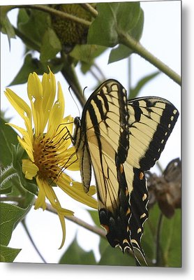 Tiger Swallowtail Metal Print by Phyllis Peterson