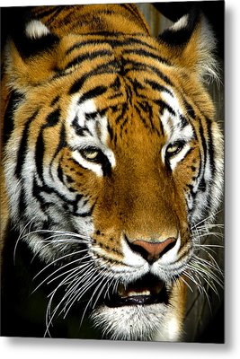 Tiger Tiger Burning Bright Metal Print by Venetia Featherstone-Witty