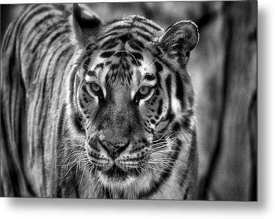 Tiger Tiger Monochrome Metal Print by Beth Akerman