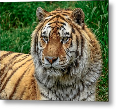 Tiger Tiger Metal Print by Yeates Photography