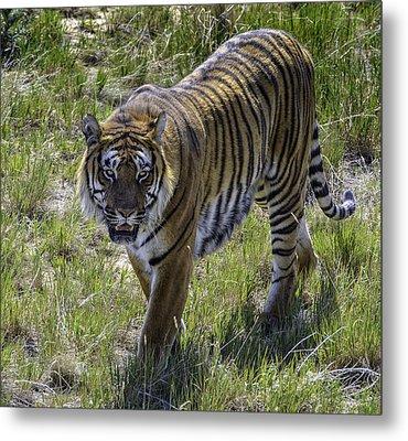 Tiger Metal Print by Tom Wilbert
