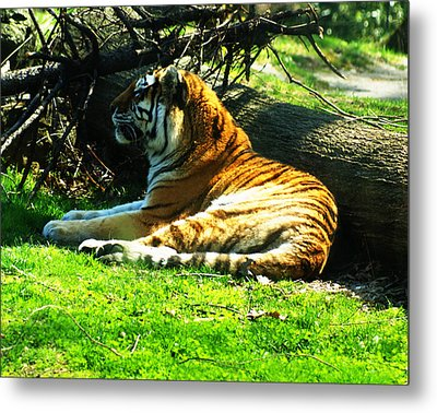 Metal Print featuring the photograph Tiger Too by B Wayne Mullins