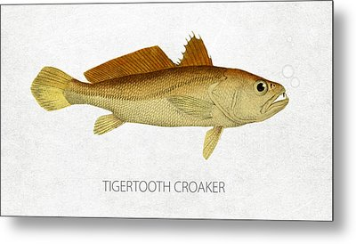 Tigertooth Croaker Metal Print by Aged Pixel