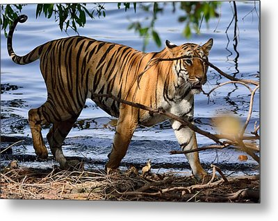 Tigress Along The Banks Metal Print by Fotosas Photography