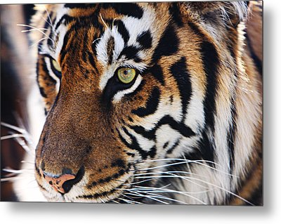 Tigress Three Metal Print