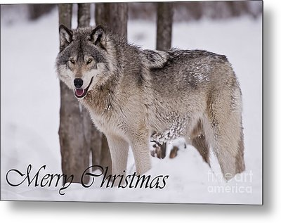 Timber Wolf Christmas Card English 3 Metal Print by Wolves Only