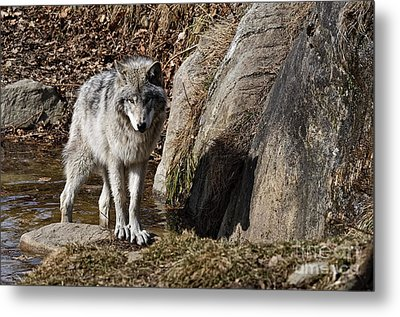 Metal Print featuring the photograph Timber Wolf In Pond by Wolves Only