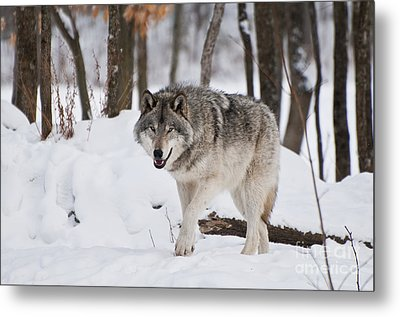 Metal Print featuring the photograph Timber Wolf In Winter Forest by Wolves Only