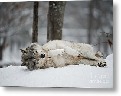 Timber Wolf In Winter Metal Print by Wolves Only
